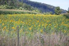 Los girasoles colocan en las montañas de Alemania, Hettigenbeuern imagen de archivo