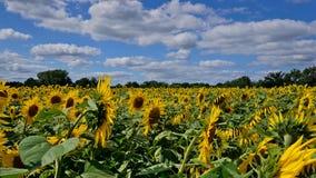 Los girasoles colocan en un cielo azul con las nubes Imagen de archivo libre de regalías