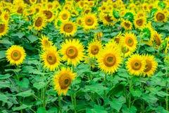 Los girasoles colocan la floración en el jardín en el verano o el día de primavera soleado Imágenes de archivo libres de regalías