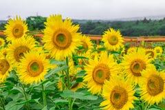 Los girasoles colocan la floración en el jardín en el verano soleado o el SP Imagen de archivo
