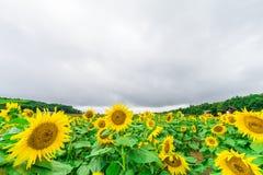 Los girasoles colocan la floración en el jardín en el verano soleado o el SP Fotos de archivo