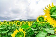 Los girasoles colocan la floración en el jardín en el verano soleado o el SP Foto de archivo libre de regalías