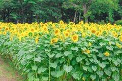 Los girasoles colocan la floración en el jardín en el verano soleado o el SP Imagenes de archivo