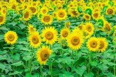 Los girasoles colocan la floración en el jardín en el verano soleado o el SP Imágenes de archivo libres de regalías