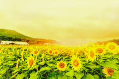 Los girasoles colocan la floración en el jardín en el verano soleado o el SP Imagen de archivo libre de regalías