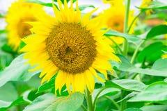 Los girasoles colocan la floración en el jardín en el verano soleado o el SP Fotografía de archivo