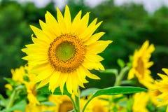 Los girasoles colocan la floración en el jardín en el verano soleado o el SP Foto de archivo