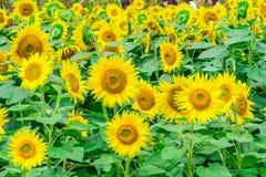 Los girasoles colocan la floración en el jardín en el verano soleado o el SP Fotografía de archivo libre de regalías