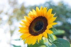 Los girasoles en los girasoles colocan y empañan el fondo, gusanos en flores Fotos de archivo libres de regalías