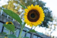 Los girasoles en los girasoles colocan y empañan el fondo, gusanos en flores Imagenes de archivo