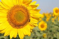 Los girasoles en el girasol colocan debajo del cielo azul Abejas en las flores Imagen de archivo libre de regalías