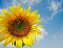 Los girasoles en el girasol colocan debajo del cielo azul con la abeja Imagenes de archivo