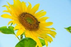 Los girasoles en un fondo azul amarillean el girasol y una abeja Foto de archivo libre de regalías