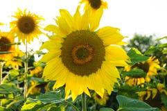 Los girasoles en un sol hermoso del fondo blanco colorean las flores verdes de la naturaleza Foto de archivo libre de regalías