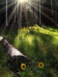 Los girasoles se encendieron por los rayos del sol que brillaban a través del bosque fotografía de archivo libre de regalías