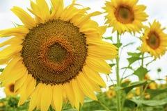 Los girasoles y la naturaleza de los insectos amarillean el campo floreciente de las flores Fotos de archivo