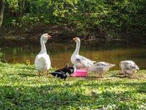 Los gooses blancos y marrones están comiendo de los cuencos en la orilla del río en el parque imagen de archivo libre de regalías