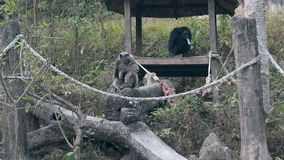 Los gorilas negros y grises suben en tronco y resto de árbol de mentira almacen de metraje de vídeo