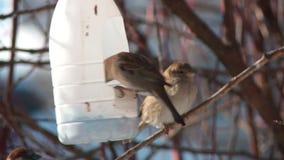 Los gorriones de la ciudad comen en un canal de alimentación en un árbol en el primer de la primavera