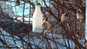Los gorriones de la ciudad comen en un canal de alimentaci?n en un ?rbol en el primer de la primavera almacen de video
