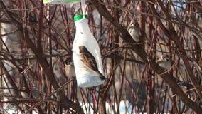 Los gorriones de la ciudad comen en un canal de alimentaci?n en un ?rbol en el primer de la primavera