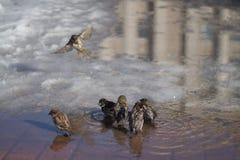 Los gorriones se bañan Imagenes de archivo
