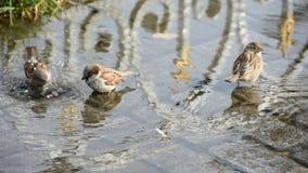 Los gorriones se bañan en un charco en el calor pájaros almacen de video