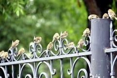 Los gorriones son los pájaros mas comunes de la ciudad Imagen de archivo