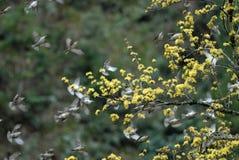 Los gorriones vuelan Fotografía de archivo libre de regalías