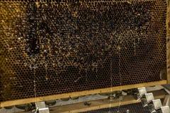 Los goteos dulces de la miel del peine de oro amarillo brillante de la miel fluyen durante fondo de la cosecha con el textspace Foto de archivo libre de regalías