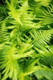 Los grüne Farne, natürlicher Hintergrund vom Pteridophyte, Topvie Stockfotos