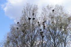 Los grajos han llegado y han hecho sus jerarquías en la primavera Imagen de archivo