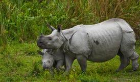 Los grandes rinocerontes uno-de cuernos femeninos y su becerro Imagen de archivo libre de regalías