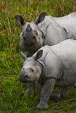 Los grandes rinocerontes uno-de cuernos femeninos y su becerro Imágenes de archivo libres de regalías