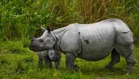 Los grandes rinocerontes uno-de cuernos femeninos y su becerro Fotografía de archivo