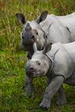 Los grandes rinocerontes uno-de cuernos femeninos y su becerro Fotos de archivo libres de regalías