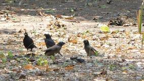 Los grandis del Acridotheres del pájaro de las muchedumbres eran pájaro de la matanza que invaden el territorio almacen de video