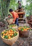 Los granjeros chinos descargan el camión con las naranjas en cestas de mimbre, Gua Fotografía de archivo