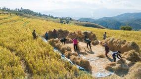 Los granjeros cosechan la granja del arroz con manera tradicional fotografía de archivo