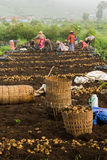 Los granjeros cultivan las patatas Fotos de archivo libres de regalías