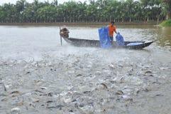 Los granjeros están alimentando el siluro del pangsius en su charca en el delta del Mekong de Vietnam Fotografía de archivo