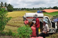 Los granjeros están cosechando el arroz en el campo de oro en primavera, en Vietnam septiembre de 2014 occidental Imagen de archivo libre de regalías