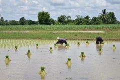 Los granjeros están plantando el arroz Imagen de archivo libre de regalías