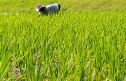 Los granjeros están plantando el arroz fotografía de archivo