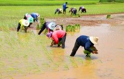 Los granjeros están produciendo el arroz pegajoso Foto de archivo