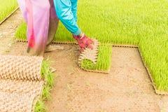 Los granjeros están rodando el brote joven del arroz en la caja Imagen de archivo libre de regalías