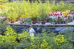 Los granjeros están tomando el cuidado de la flor ornamental de los bonsais en el mercado Fotos de archivo