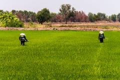 Los granjeros est?n inyectando los pesticidas para proteger las plantas en los campos del arroz imagen de archivo
