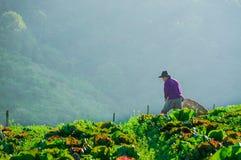 Los granjeros que cosechan en col colocan con el fondo de la montaña, no Foto de archivo libre de regalías