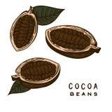 Los granos de cacao dan dibujado ilustración del vector